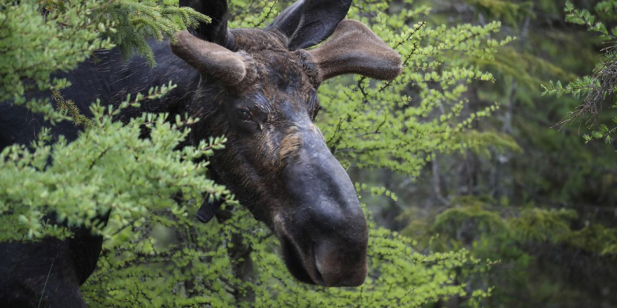 Winter ticks killing large numbers of moose calves in New England