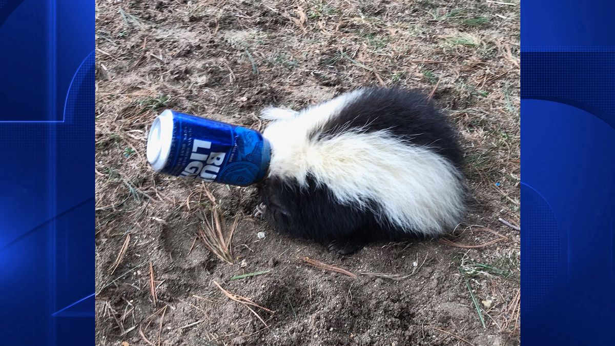 Skunk rescued after getting head stuck inside beer can