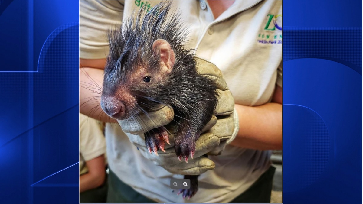 Baby porcupines born at Franklin Park Zoo