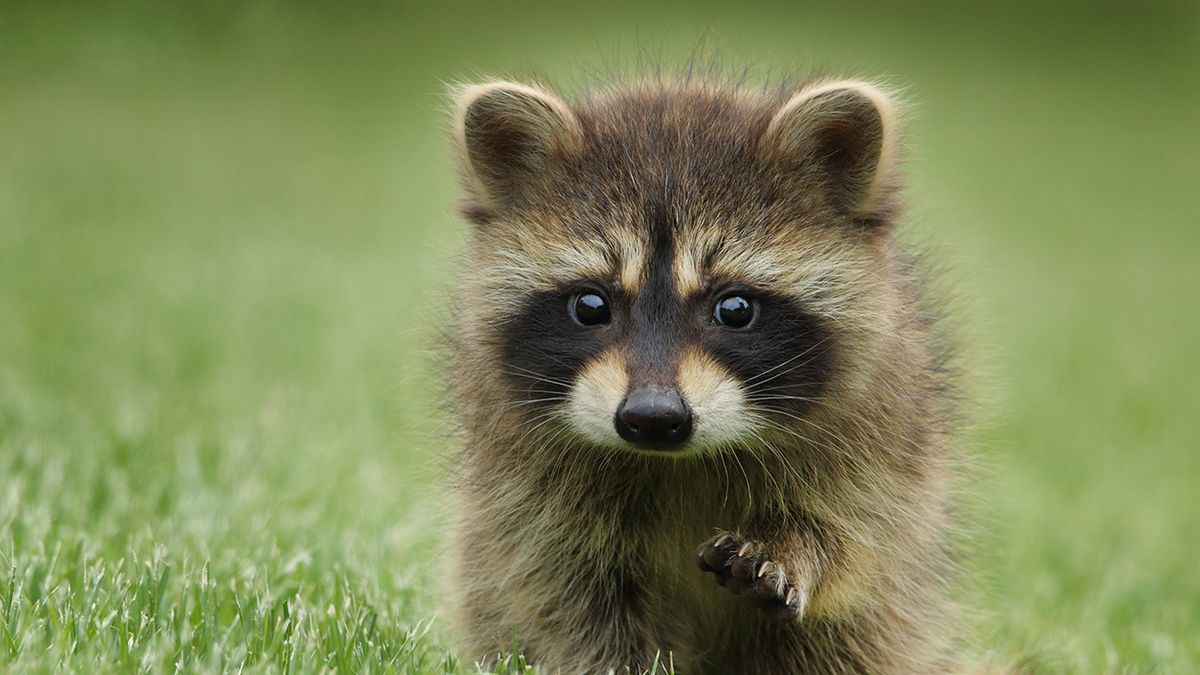 29 baby raccoons taken out of Indianapolis home, woman cited by officials
