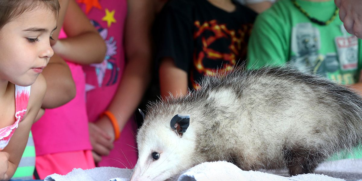 'Destroyers of ticks': How opossums help fight ticks and Lyme Disease