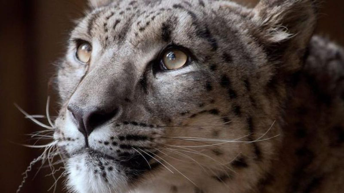 Snow leopard shot dead while escaping British zoo