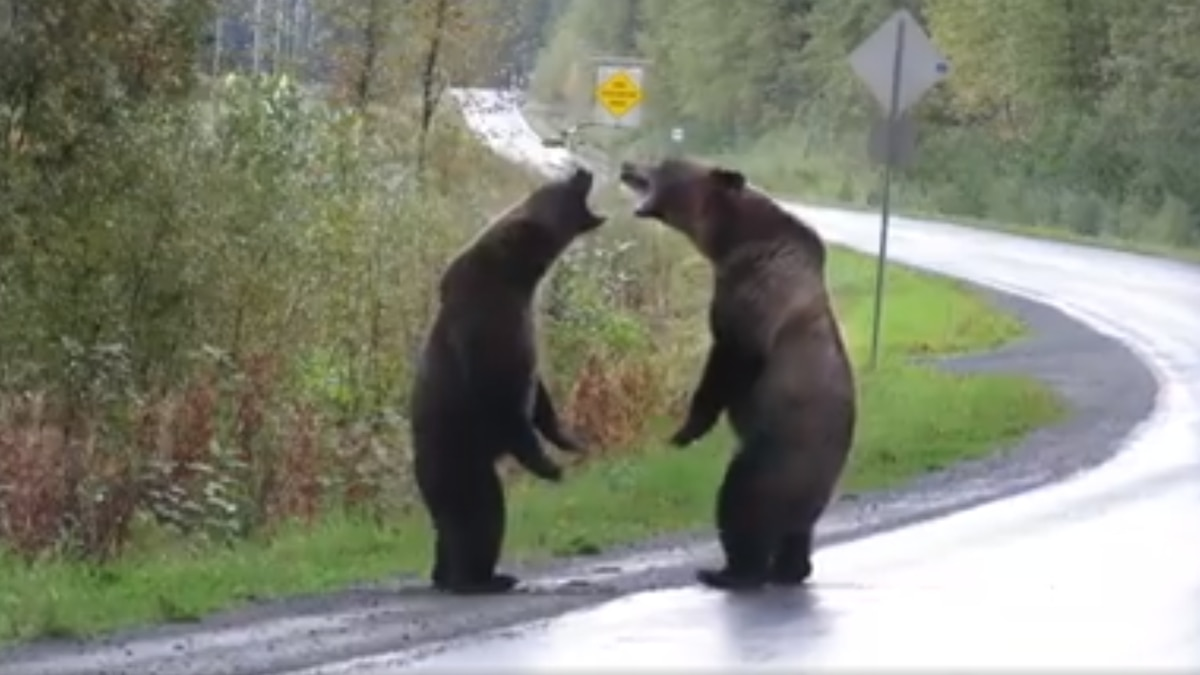 Grizzly bears duke it out on highway in must-see viral video