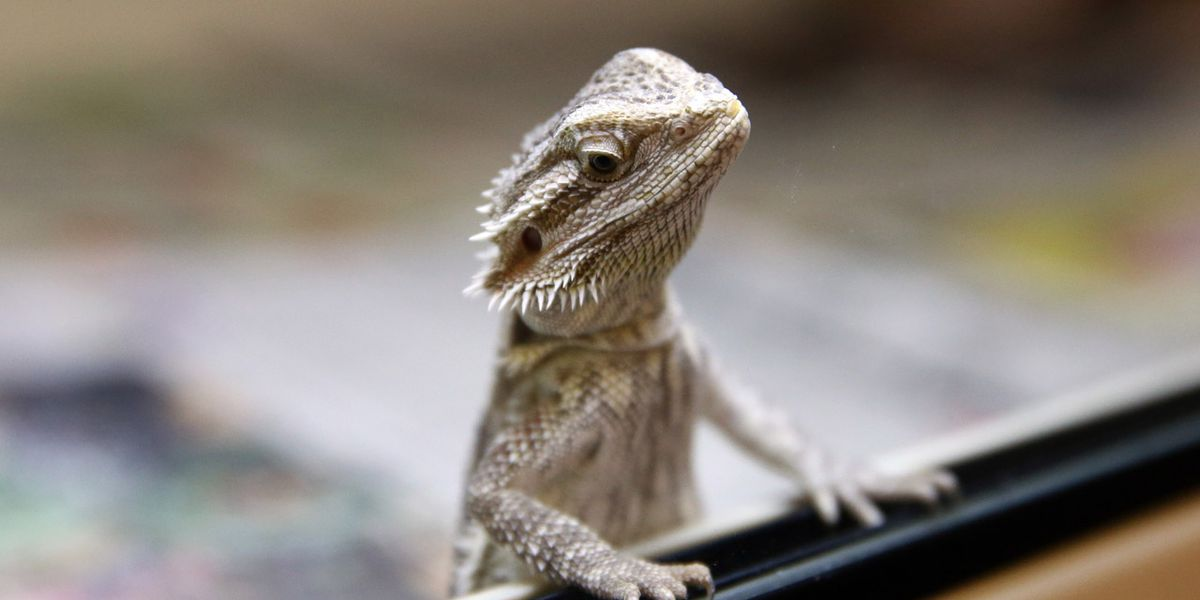 Bearded dragon found in backpack; child didn't want to leave 'Jango' home alone