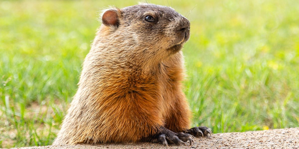 PETA calls for Punxsutawney Phil to be retired, replaced with animatronic groundhog