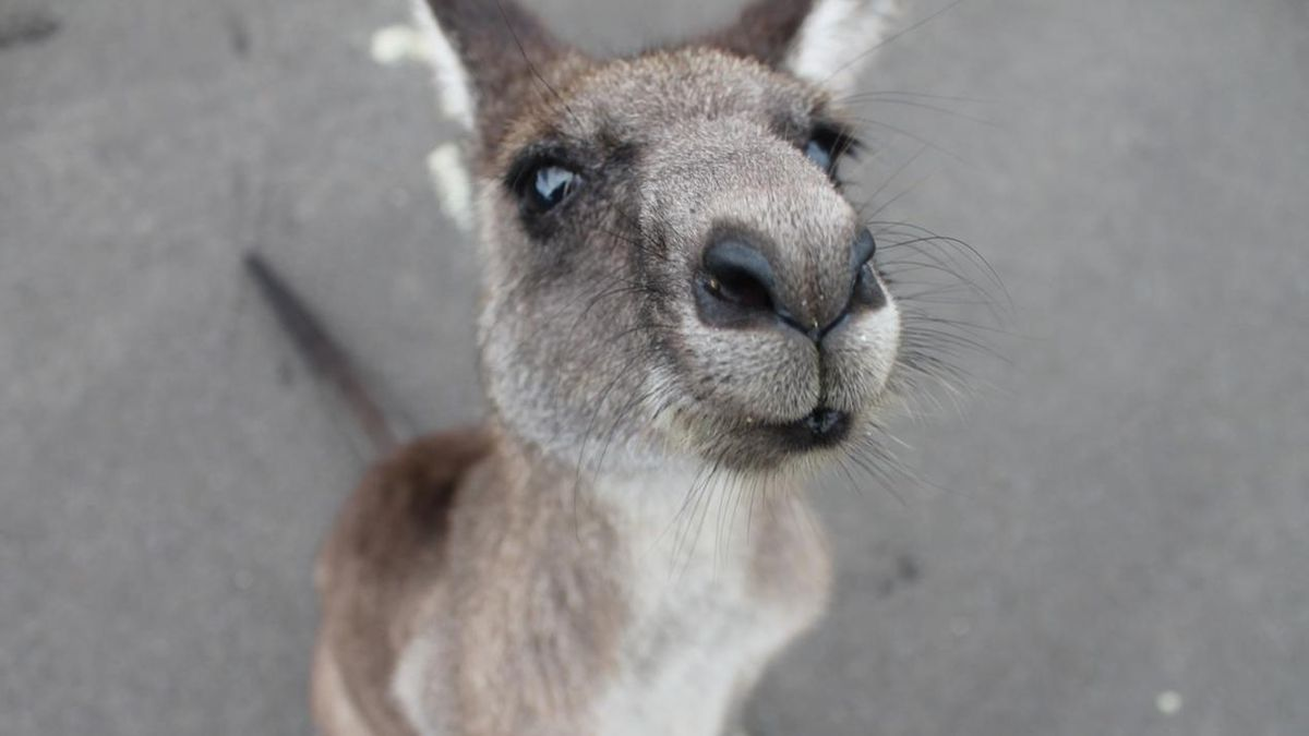 'Sox' will live on in LA after zoos make World Series bet for kangaroo naming rights
