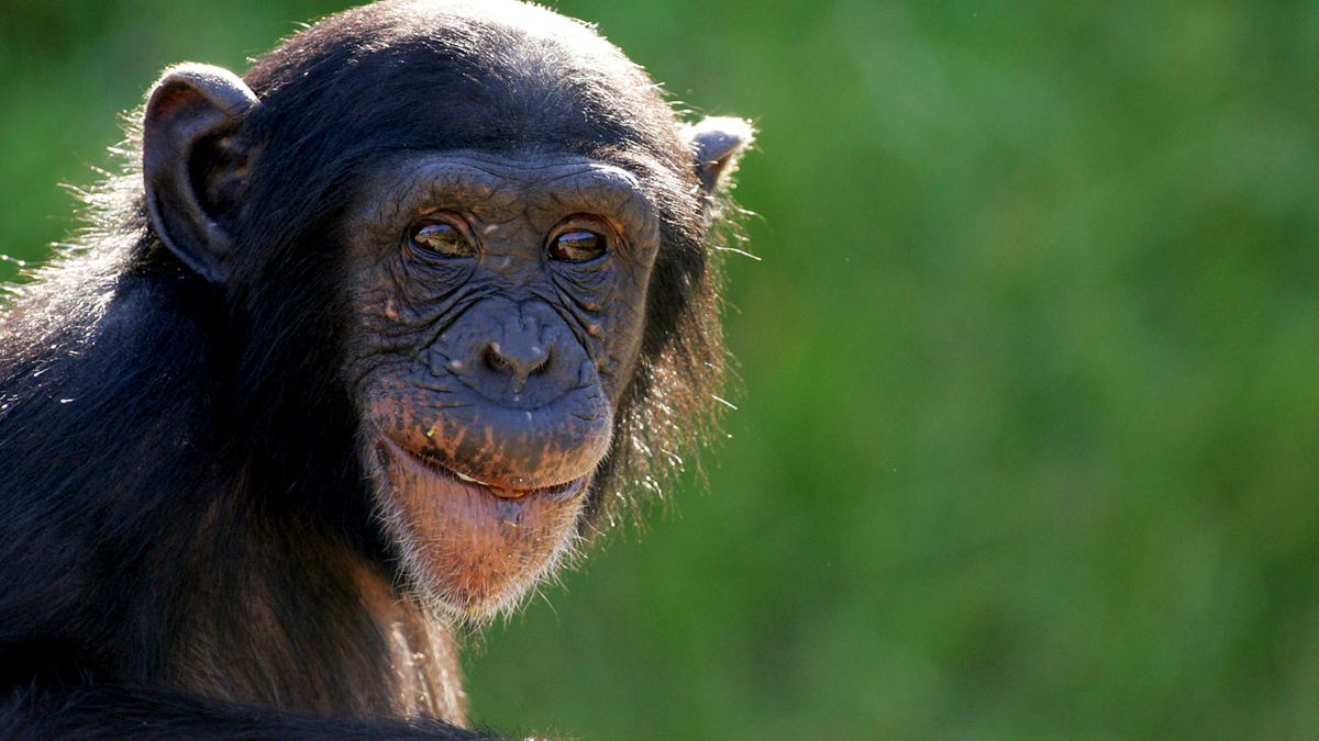 Chimps use branches as ladder, escape zoo enclosure
