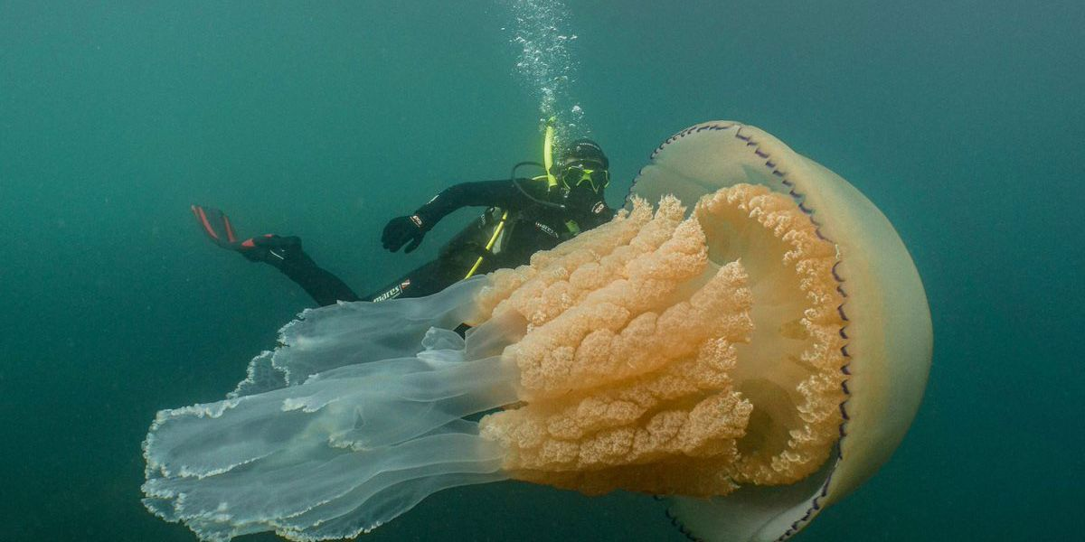 Giant jellyfish the size of a man caught on camera off English coast